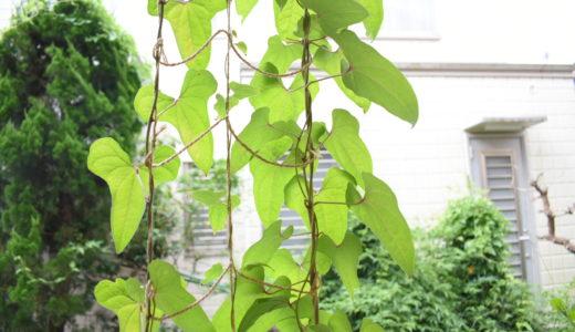 自然薯をプランターで育ててみると。| 暑さ対策のグリーンカーテン