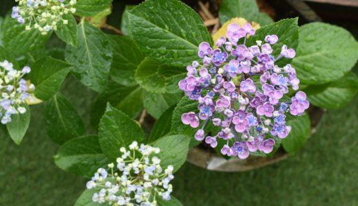 実験中-アジサイの花の色が変わるのか?焚き火の灰で土の酸度調整してみる。