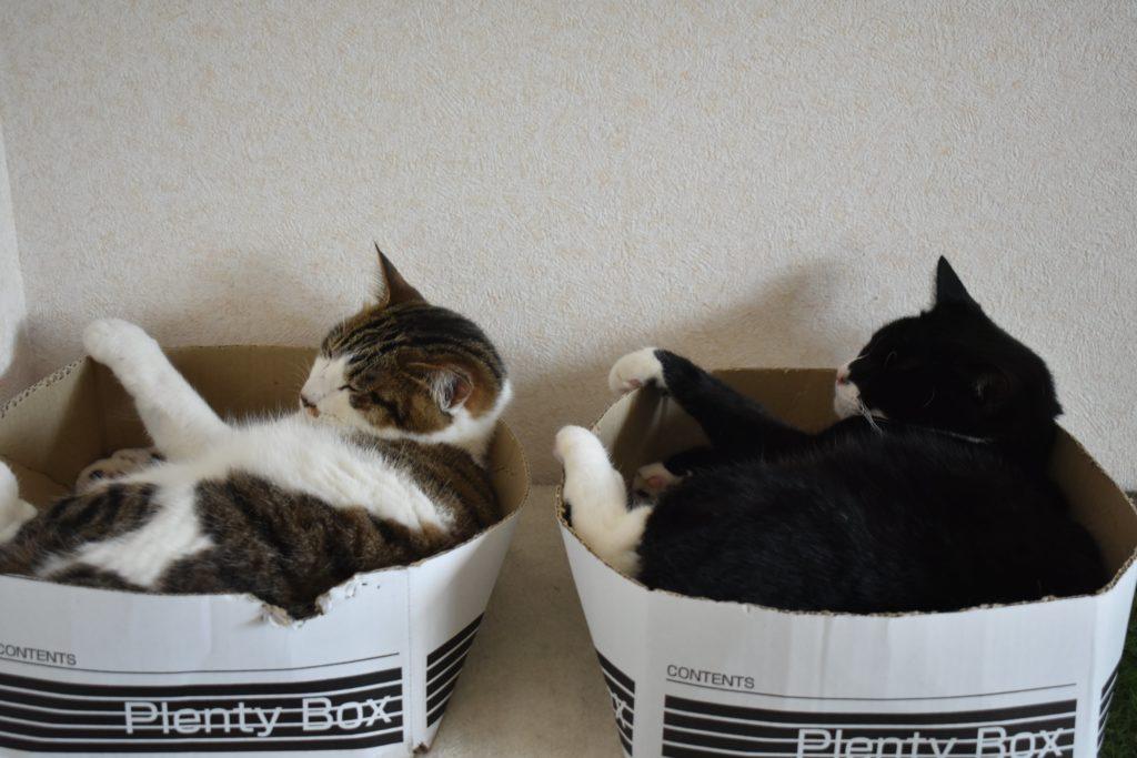 靴下猫とキジ白