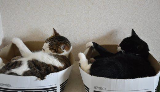 猫の毛の色と性格の関係をうちの2匹で実際に検証:黒白(靴下)とキジ白の場合
