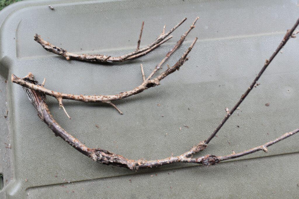 サクラの枝