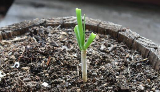 家庭菜園初心者に「ネギ」の再生栽培を圧倒的にオススメする理由